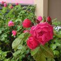今年もバラのかわいいお花が咲きました(^0^)!